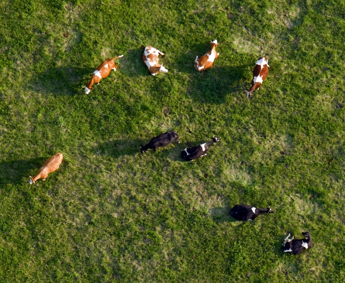 Cows in pasture - idyll ;)