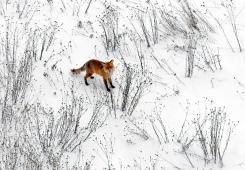 Fox - winter time